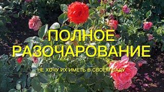 Розы . Не хочу их иметь в своём розарии. Полное разочарование.🌹🌹🌹