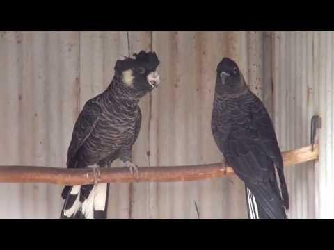 White-tailed Black cockatoo | BirdSpyAus