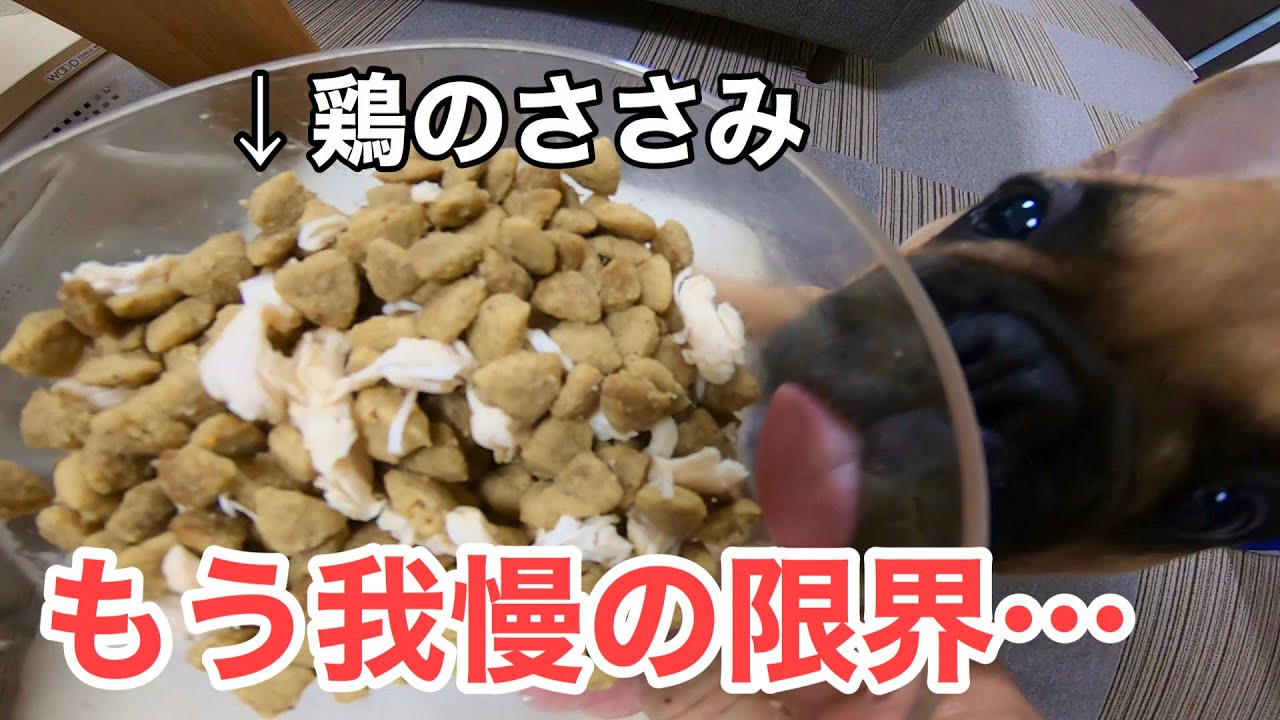 36話 初めてのささみ入りご飯に花子メロメロ!?Hanako, the French bulldog, eats rice with chicken for the first time.
