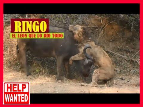 Búfalo destroza literalmente a un León.
