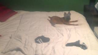 Brussels Griffon Pup Pees On Bed