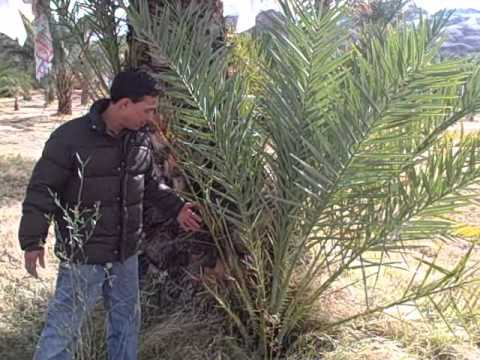 Harvesting Fresh Dates at China Ranch Date Farm near Las Veg