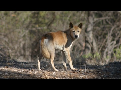Hunting Dogs, Australian Wild Dogs.