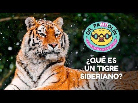 ¿Qué es un tigre siberiano? - Dr. Pangolín y su Ejército de Animalitosbebé