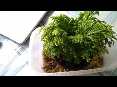 #716. Пополнение, новое растение Селагинелла😉🌱