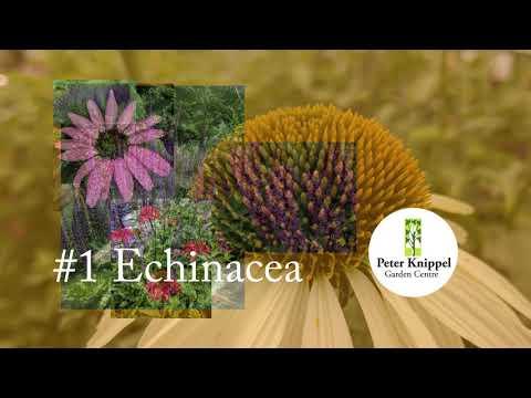 PKGC Top 5 Perennials for Sun