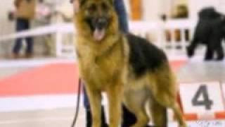 Собака которую мы сильно любим это АВЧАРКА!