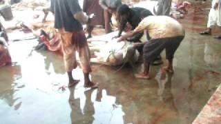 Cow Qurbani by Experts at Darul Aluom Latiabafad No 8 Hyderabad