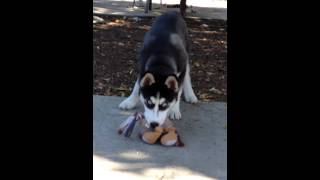 12 week old siberian Husky best dogs male name Blue