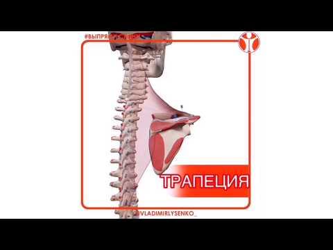 Вы можете смотреть видео КАК ВЫГЛЯДИТ ТРАПЕЦИЯ ( трапециевидная мышца ) анатомия в 3д.