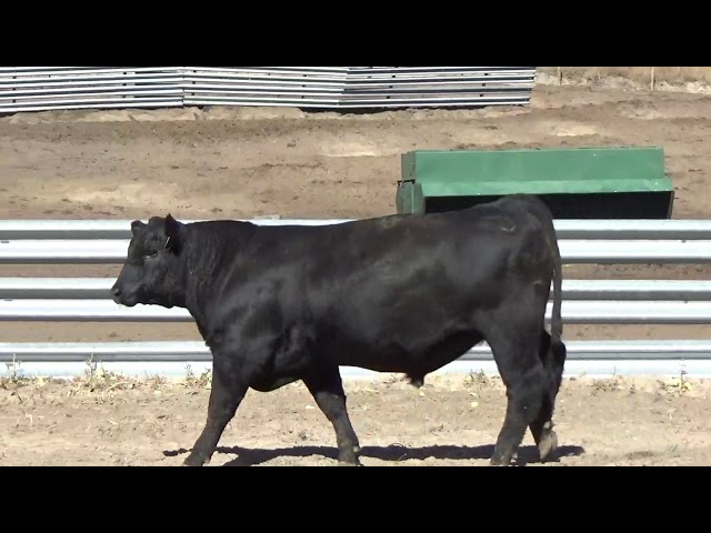Connealy Angus Lot 186