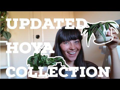 UPDATED HOYA COLLECTION | HOYA HAUL