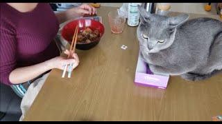 ママの食事っぷりをティッシュ潰しながら至近距離で眺める灰色猫