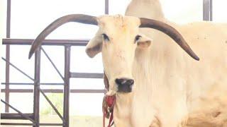 Gopashtami special - गौ भक्तों के लिए नंदिनी गाय की महाआरती