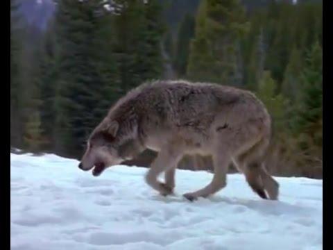 видео: Сезон охоты на волков в разгаре