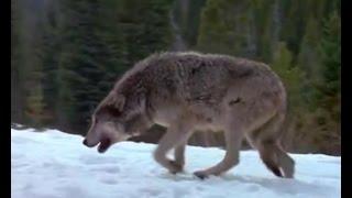 Сезон охоты на волков в разгаре