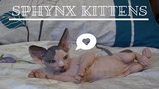 Sphynx kittens - its raining toys!!