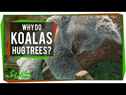 Why Do Koalas Hug Trees?