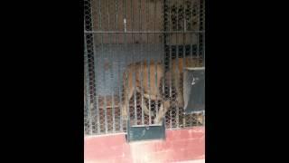 Leone affamato allo zoo di napoli