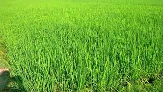 আর কত দিন জানি এই অবলা প্রাণী ।। লালন গীতি।। bangla folk song  ।। polligeeti gun  ।। stock footage