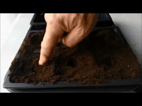 sowing-peppers-in-a-heated-propagator