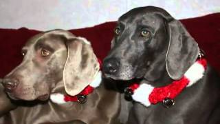 Iowa Weim Rescue Holiday Wish