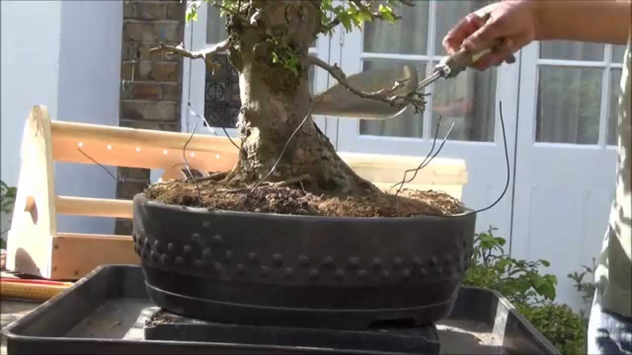 How To Bonsai Restoring Neglected Trident Maple Gentle Work On Wiring Demo Roots Temp Repot