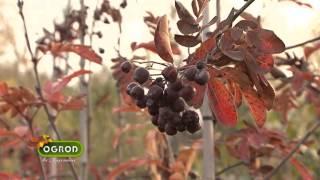 Jesienne, ozdobne i jadalne owoce, wybarione pnącza, trzmieliny - Ogród Bez Tajemnic