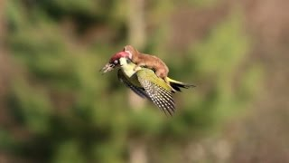 Was the Weasel Riding the Woodpecker Trying to Kill Him?