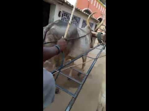 woman riding bullockcart tamilnadu