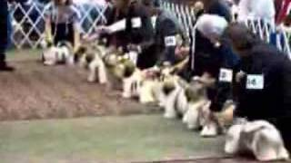 Shih Tzu National Specialty Show