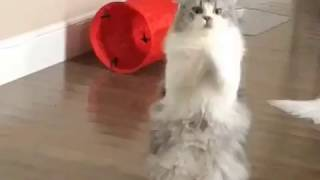 BRATTY BOY - Cat Begs for Attention   Leo the Persian Kitty