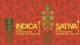 Смотреть клип Differences between SATIVA vs INDICA онлайн