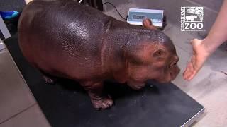 Baby Hippo Fiona's 2 Year Highlights - Cincinnati Zoo