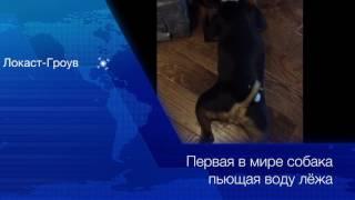 Первая в мире собака пьющая воду лёжа. Новости.