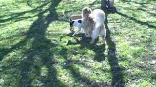 Hank - black mouth yellow cur | Redeeming Dogs |Tod McVicker Flower Mound dog training