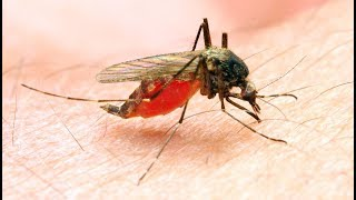 Mosquitoes fatally attracted to deadly, sweet - smelling potion