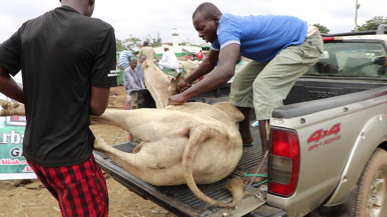 Big qurbani bull attacks man