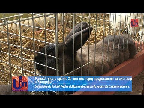 Майже триста кролів 20 елітних порід представили на виставці в Ужгороді