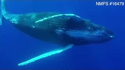 Underwater footage of humpback whales reveals penis extrusion