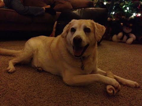 Dexter, My Yellow Labrador Golden Retriever Mix