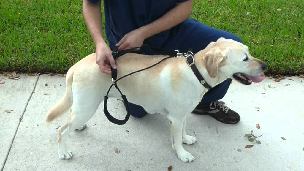 put the Horgan Harness on your dog, www.horganharness.com ...