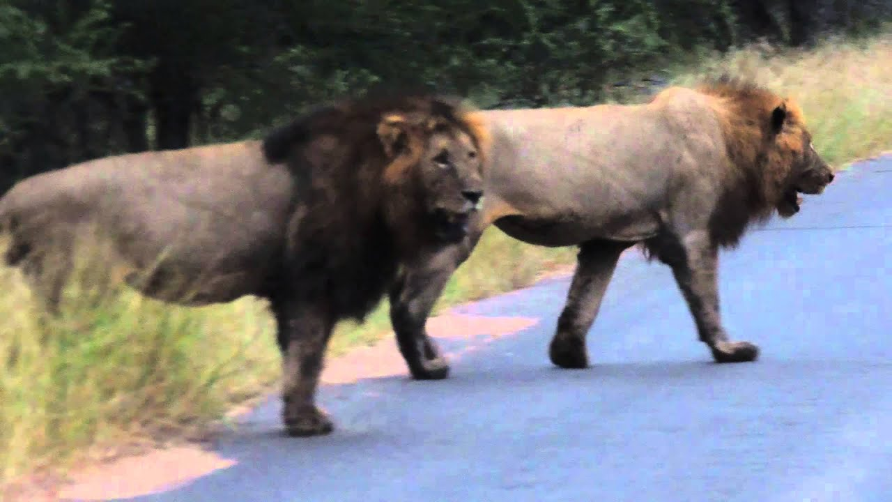 2 Male lions roaring in the Kruger National Park - YouTube