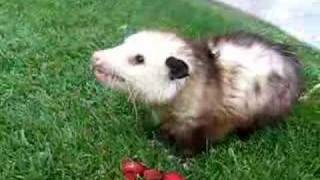 Mary Cummins, Animal Advocates, Opossum eating strawberries