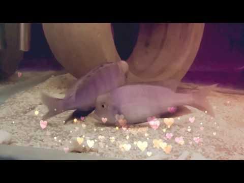 Yunus Balığı Çiftleşme Anı