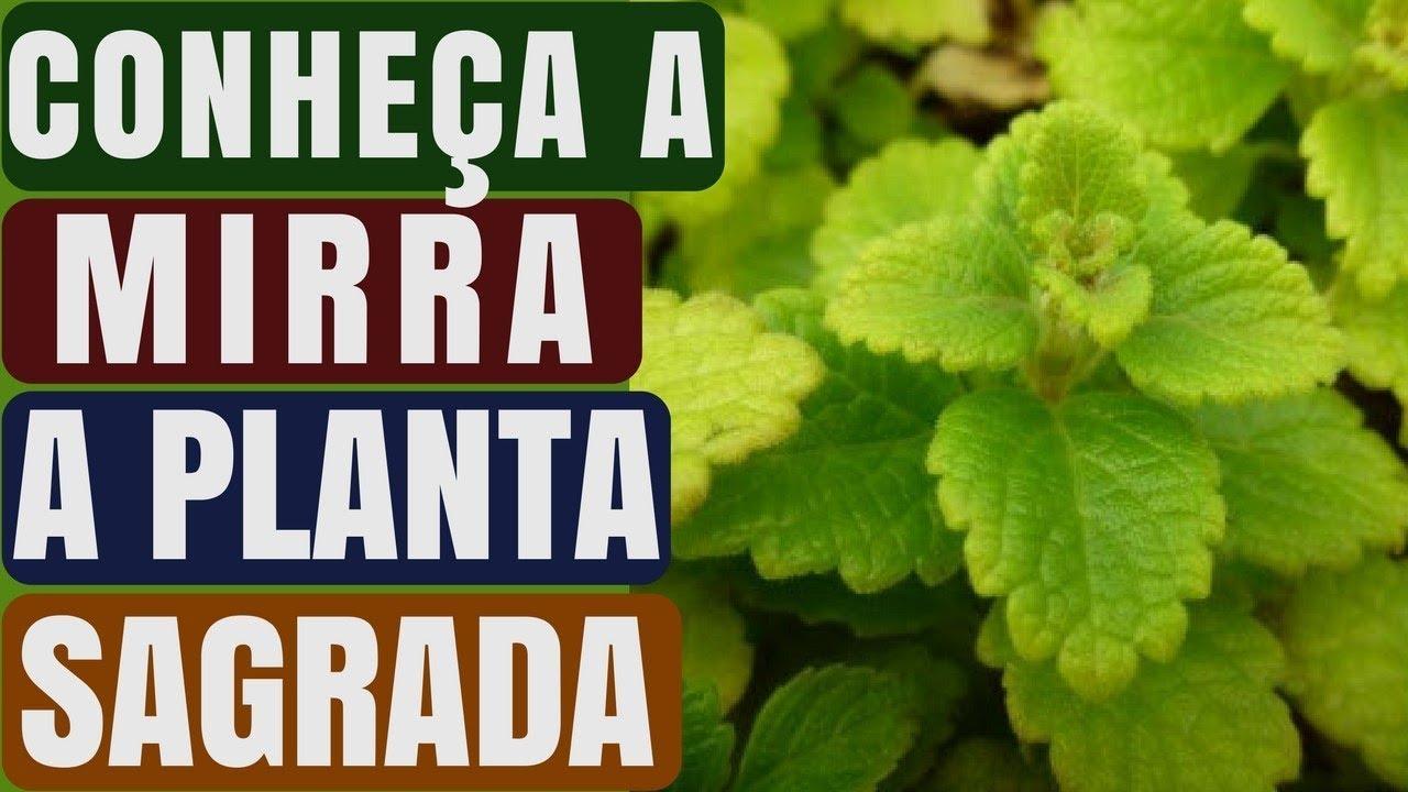 Download Você Conhece Mirra? A planta sagrada!  |  Naturalmente Saudável