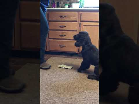 Field Spaniel puppy. Articles indication