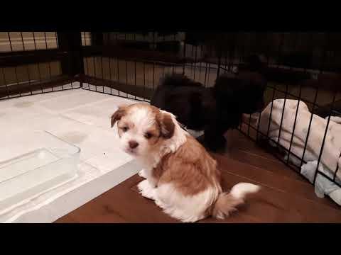 Malshipoo Puppies