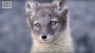 Adorable Alopex! Amazing Animal Babies: Arctic Foxes (Ep 9) | Earth Unplugged