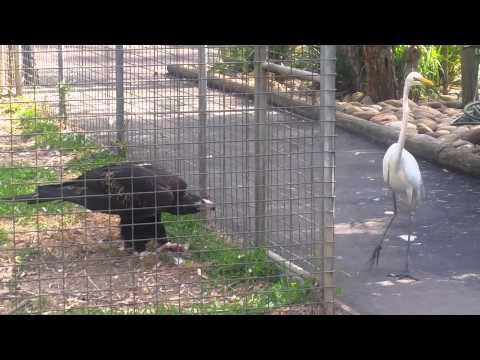 Eagle attacks bird at Featherdale  Wildlife Park,